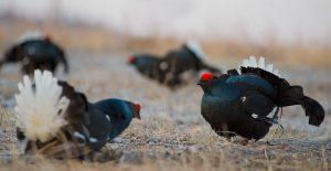 black grouse hunting in belarus