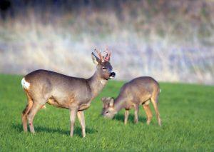 roe deer hunting in Europe