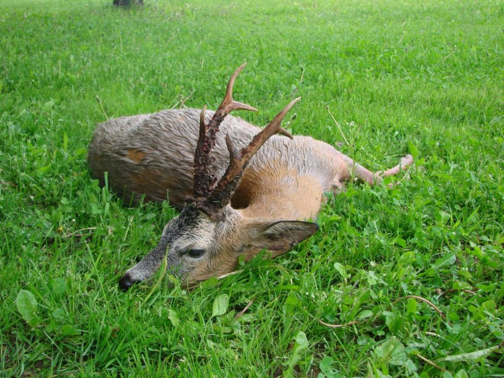 охота на косулю беларсь