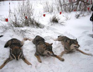 охота на волка беларусь