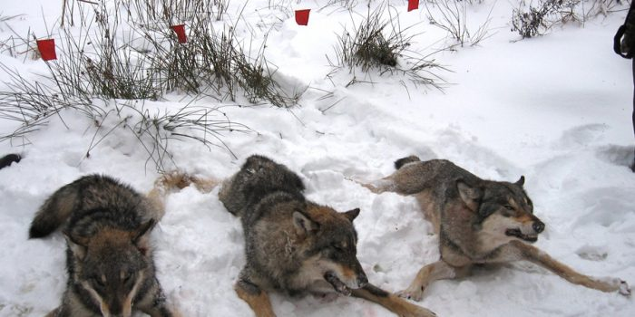 Wolf hunting in Europe