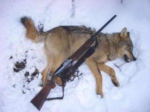 охота на волка в европе