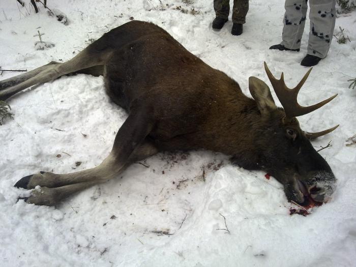 охота на лося в белоруссии