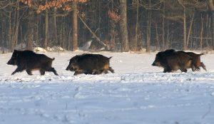 охота на кабана в белоруссии