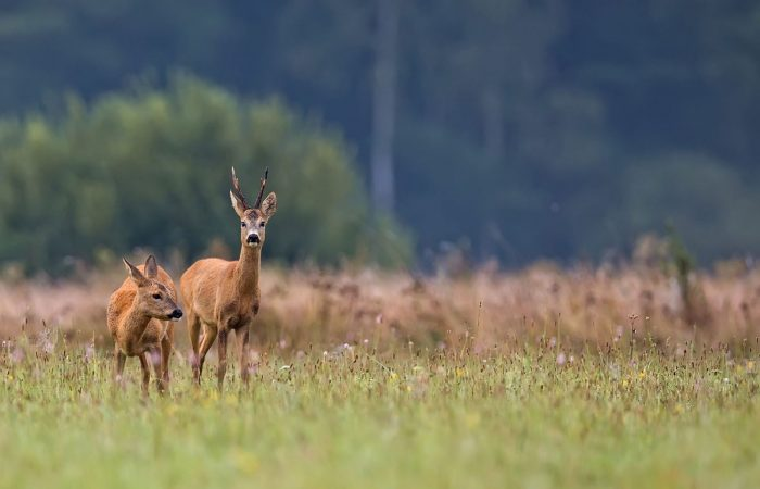 roe buck hunting