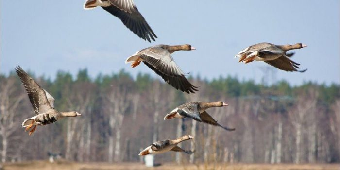 охота на гуся в Беларуси