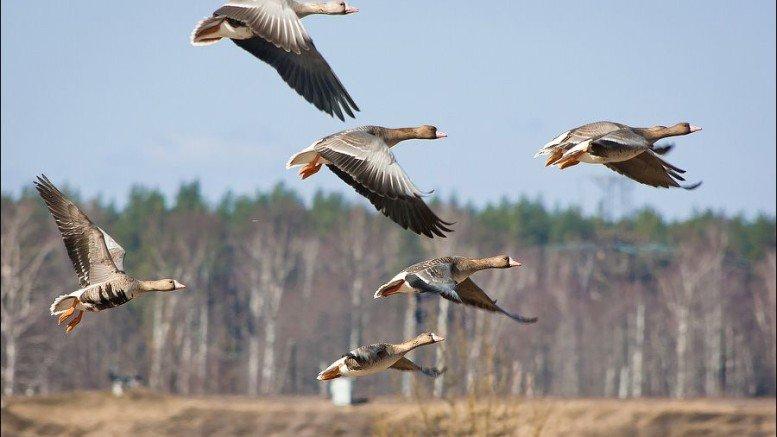 geese hunting in Belarus