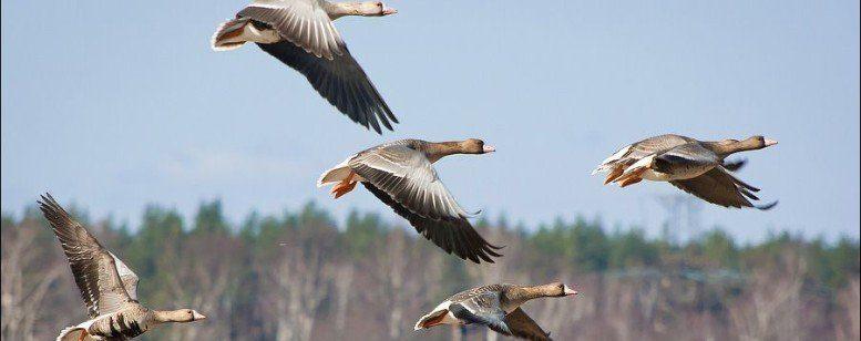 Охота в Беларуси | Охота на гуся в Беларуси
