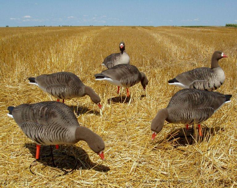 охота на гуся в белоруссии