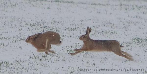 охота на зайца в беларуси